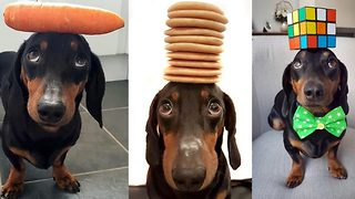 Paw-some talent – Dog's incredible balancing ability  - Video