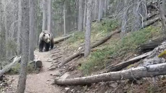 Hikers in Canada encounter huge Grizzly Bear in forest - Video