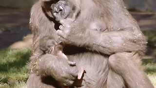 Baby gorilla born from critically endangered species - Video