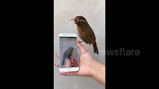 Angry bird pecks at itself on mobile phone - Video