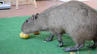 Pumpkin-Chewing Capybara Looking Forward to Halloween - Video