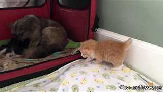 Little Kitten Takes His Wobbly First Steps