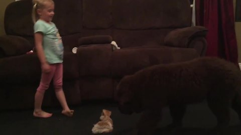 Little girl and Newfoundland puppy compare dance moves