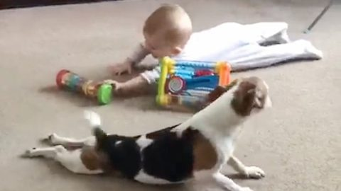 Jack Russell Pup Teaches Little Girl How To Crawl