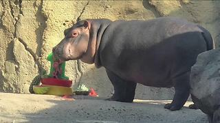 Fiona the Hippo celebrates first birthday