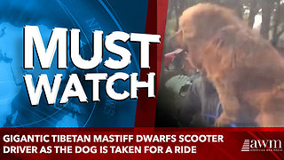 Gigantic Tibetan Mastiff dwarfs scooter driver as the dog is taken for a ride - Video