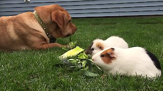 Confused dog thinks he's a big guinea pig