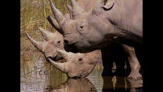 Uzoo University: Remarkable Rhinos - Video