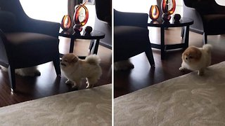 Adorable pomeranian dog can't stop sneezing