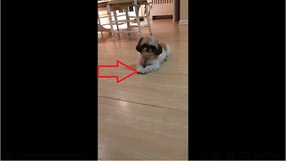 Puppy loves dancing for her treats - Video