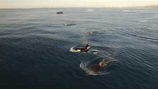 Huge Number of Orcas Spotted in Orange County - Video