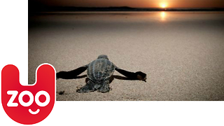 Olive Ridley Turtles Short Documentary - Video
