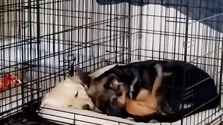 Watch These Puppies Preciously Cuddle Each Other For Nap Time - Video