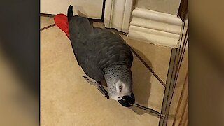 Watch this parrot totally imitate a door stopper