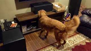 Golden Retriever Goes Nuts While Watching Final Cubs Game - Video