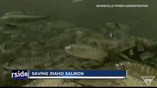 Salmon numbers in Idaho take a nose dive - Video