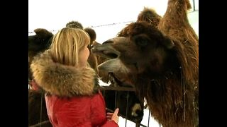 Camels in Chernukha - Video