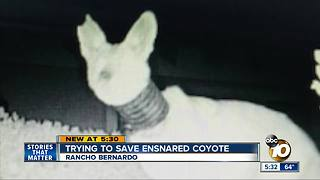 Rancho Bernardo neighbors trying to save coyote