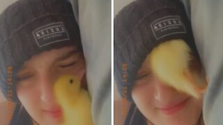 Duckling adorably cuddles with owner inside her hat