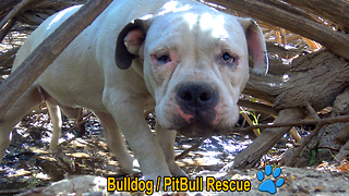 Homeless Bulldog / Pit Bull living in the bushes gets rescued and then... - Video