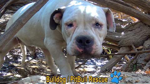 Homeless Bulldog / Pit Bull living in the bushes gets rescued and then...