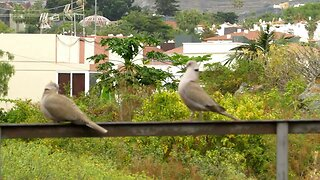 Courting birds funny