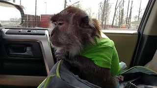 Pet Monkey Enjoys a Trip in the Car Seat