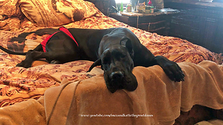 Funny Cat Steals Great Dane's XXL Bed  - Video