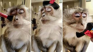Pampered monkey loves being brushed - Video
