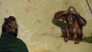 Orangutan youngster twirls her hair to copy carer - Video
