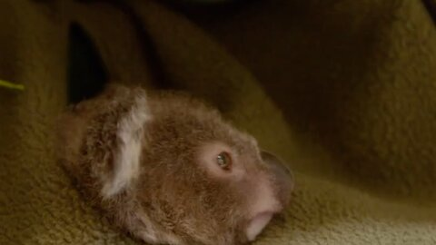 Zoo Creates Faux Pouch For Baby Koala After Mother Dies Of Cancer