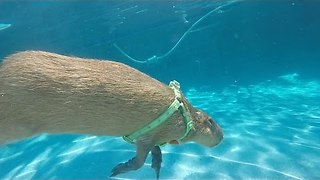 Water Loving Capybara Dives and Swims in His Pool - Video