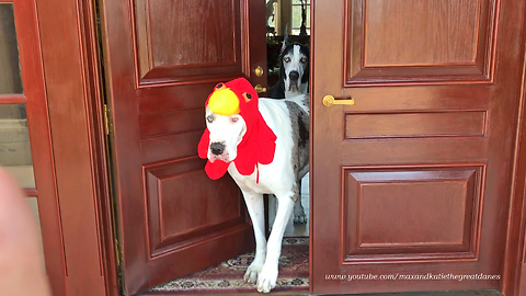 Great Dane Is More Than Ready To Celebrate Thanksgiving