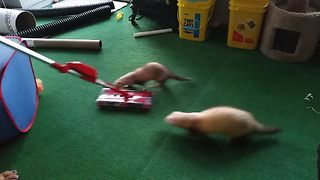 Vacuum Fetching Ferrets - Video