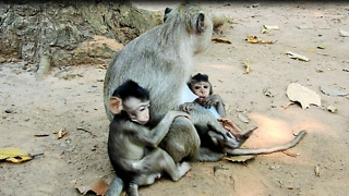 Cute Baby Monkey Nursing Mom At Angkor Cambodia