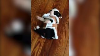 Puppy Cant Walk In His New Coat - Video