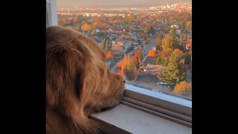 Dog Stares Longingly Out Of Window