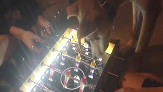 Cute Dog Plays Table Football - Video