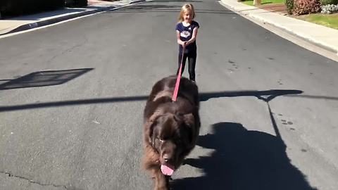 Big Dog Doesn't Mind Pulling His Little Human On Roller Blades