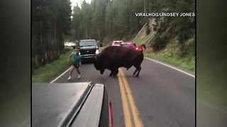 VIDEO: Man taunts bison in Yellowstone National Park traffic - Video