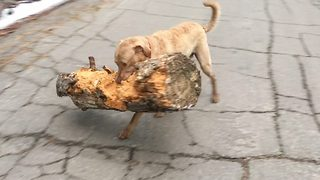 Superdog Replaces Stick With Tree Trunk To Play Advanced Fetch With Owner