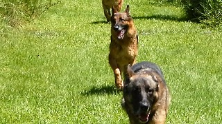 Amazing German Shepherd pack running free  - Video
