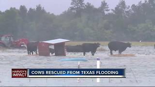 Cows rescued from Texas flooding - Video