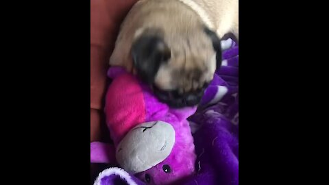 Pug takes out frustration on defenseless toy