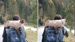 Unusual cat loves to go hiking in the mountains