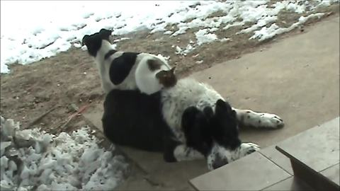 Cat and dog lay on top of bigger dog
