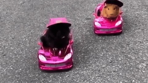 Competitive Guinea Pigs Go Neck-and-Neck in Mini Car Race