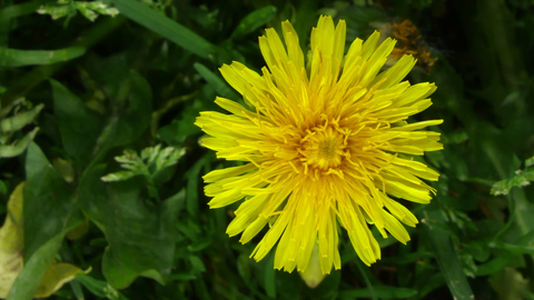 Avoiding the grocery store? Try giving dandelions a taste this spring