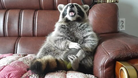 Raccoon sits like a human to eat grapes out of a jar