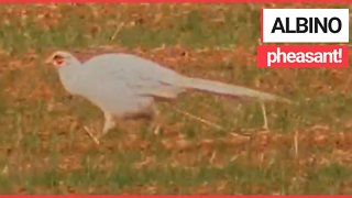 Incredible video shows an albino pheasant spotted in a field